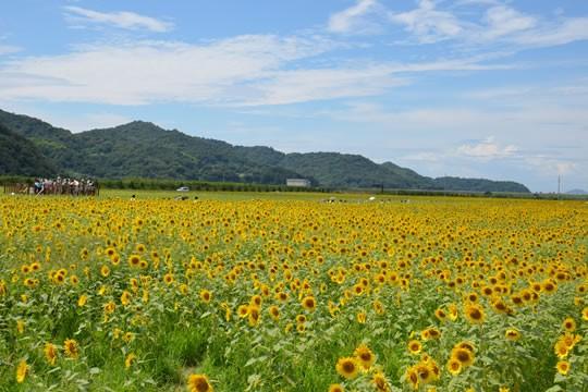 笠岡湾干拓地の花